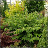 Viburnum plicatum 'Cascade' - Kalina japońska 'Cascade'