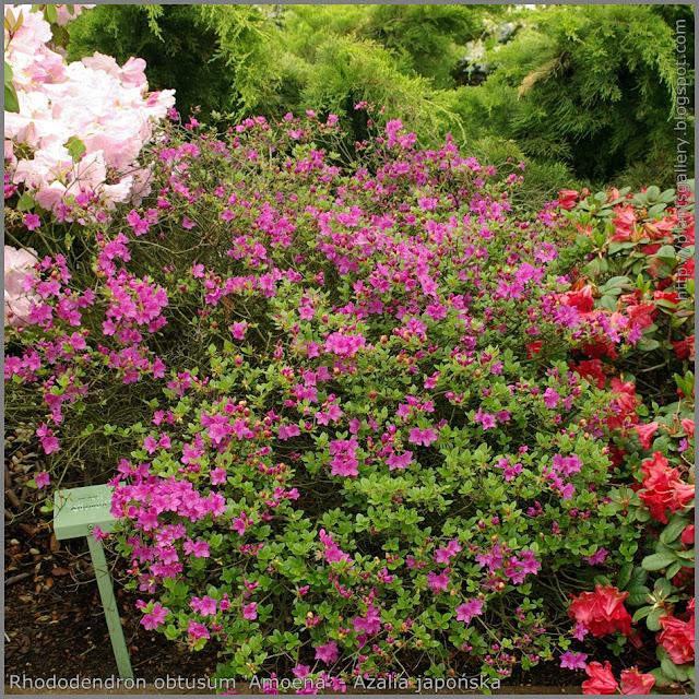 Rhododendron obtusum 'Amoena' - Azalia japońska  'Amoena'