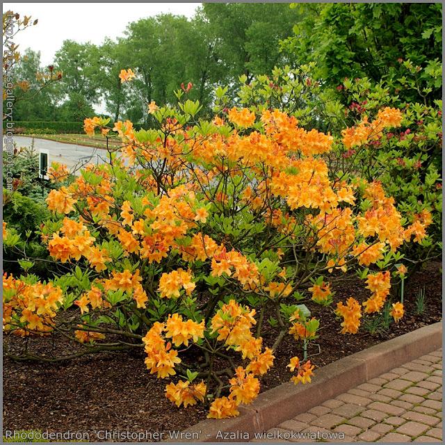 Rhododendron 'Christopher Wren' - Azalia wielkokwiatowa 'Christopher Wren'