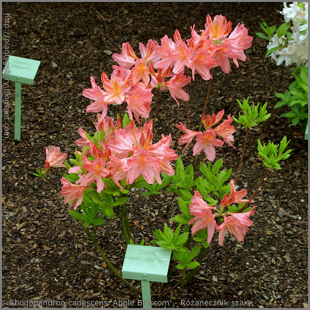 Rhododendron canescens 'Apple Blossom' - Różanecznik szary 'Apple Blossom'