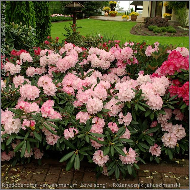 Rhododendron yakushimanum 'Love song' - Różanecznik jakuszimański 'Love song'