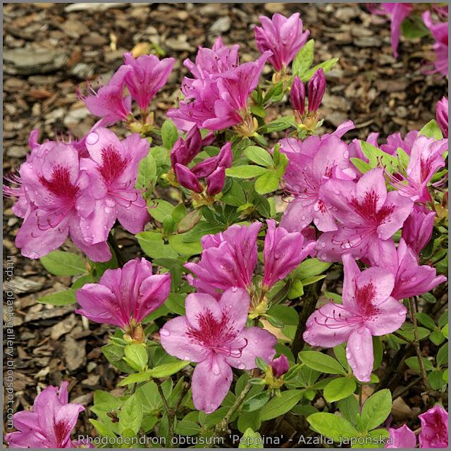 Rhododendron obtusum 'Peppina' - Azalia japońska 'Peppina'