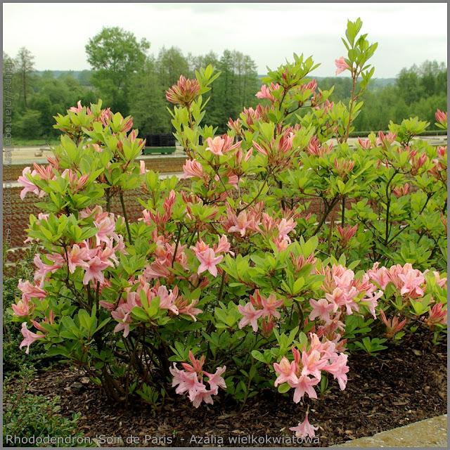 Rhododendron 'Soir de Paris' - Azalia wielkokwiatowa 'Soir de Paris'