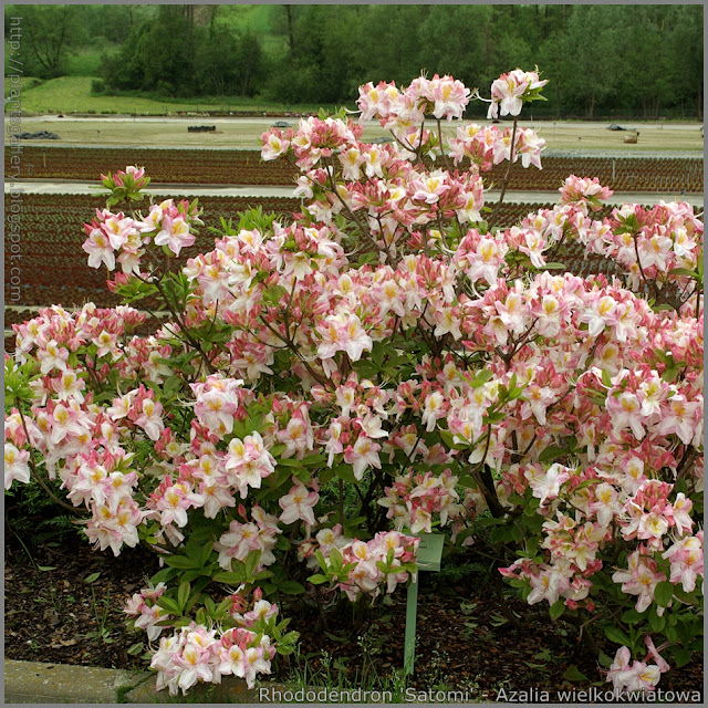 Rhododendron  'Satomi' - Azalia wielkokwiatowa 'Satomi'