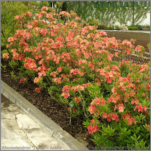 Rhododendron 'Tasco' - Azalia 'Tasco'