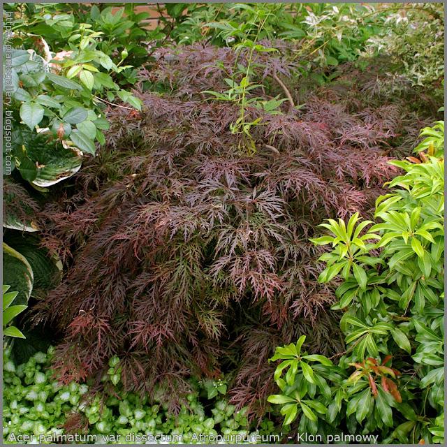 Acer palmatum dissectum 'Atropurpureum' - Klon palmowy odm. strzępolistna 'Atropurpureum'