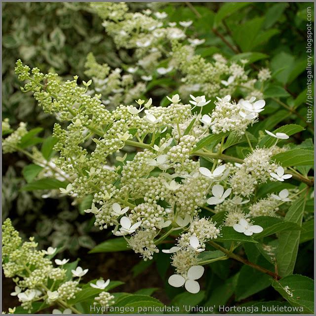 Hydrangea paniculata 'Unique' flower - Hortensja bukietowa 'Unique' kwiaty
