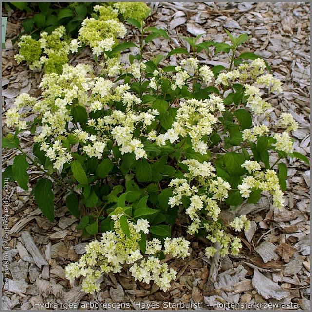 Hydrangea arborescens 'Hayes Starburst' - Hortensja krzewiasta 'Hayes Starburst'