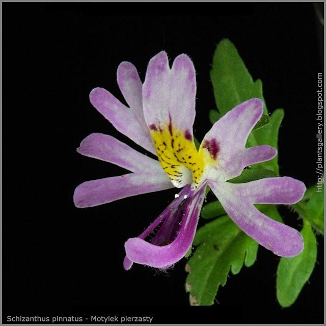 Schizanthus pinnatus - Motylek pierzasty