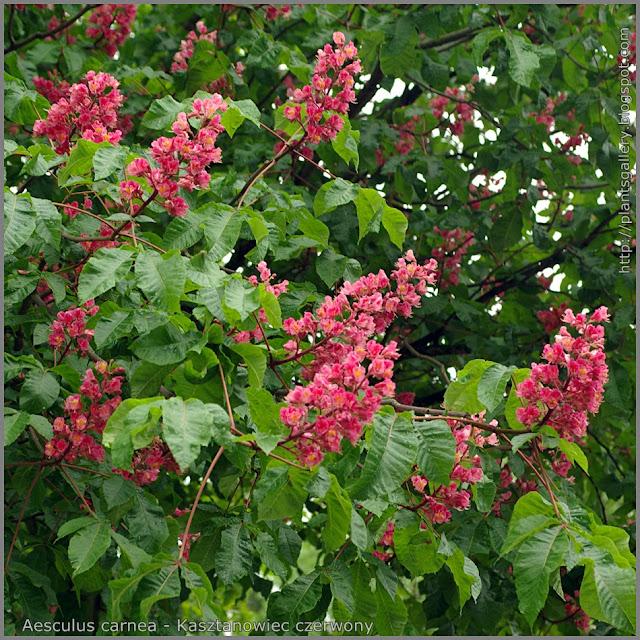 Aesculus carnea - Kasztanowiec czerwony