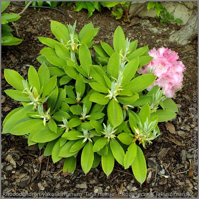 Rhododendron yakushimanum 'Tina Heinje' - Różanecznik jakuszimański  'Tina Heinje'
