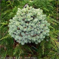 Picea pungens 'Blue Pearl' - Świerk kłujący