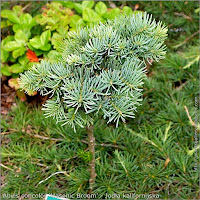 Abies concolor 'Masonic Broom' - Jodła kalifornijska