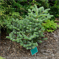 Abies koreana 'Bonsai Blue' - Jodła koreańska