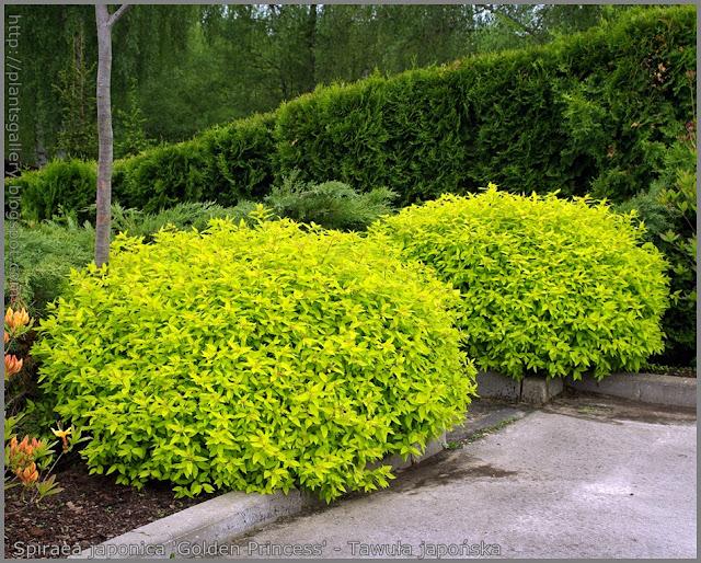 Spiraea japonica 'Golden Princess' - Tawuła japońska 'Golden Princess'