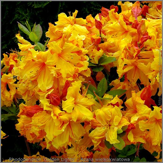 Rhododendron 'Golden Lights' - Azalia wielkokwiatowa  'Golden Lights'