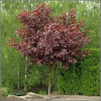 Acer platanoides 'Crimson King' - Klon pospolity 'Crimson King'