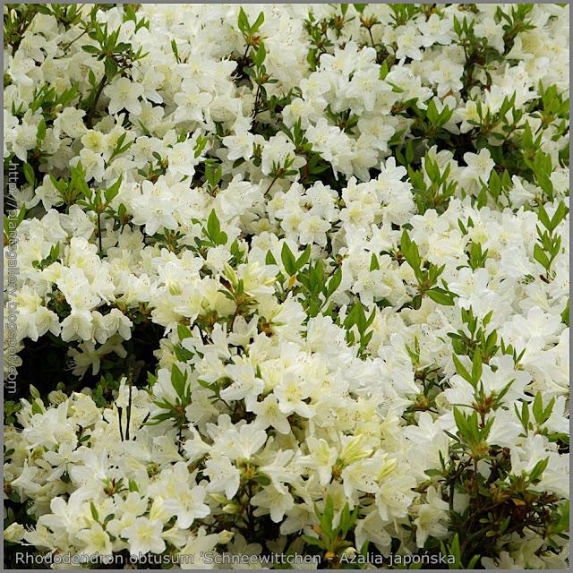 Rhododendron obtusum 'Schneewittchen' - Azalia japońska  'Schneewittchen'