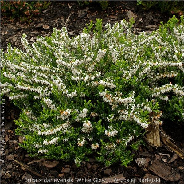 Erica x darleyensis 'White Glow' - Wrzosiec darlejski 'White Glow'