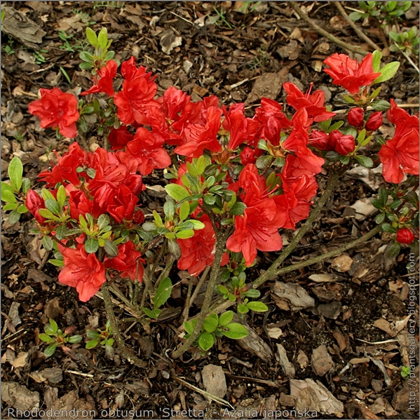 Rhododendron obtusum 'Stretta' - Azalia japońska 'Stretta'