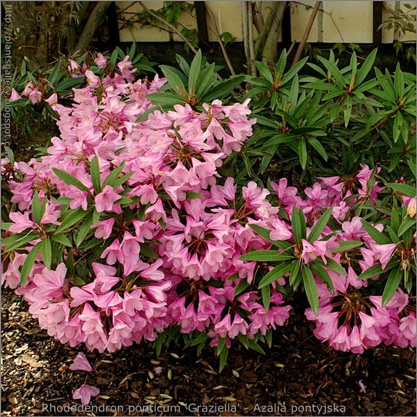 Rhododendron ponticum 'Graziella' - Różanecznik pontyjski 'Graziella'