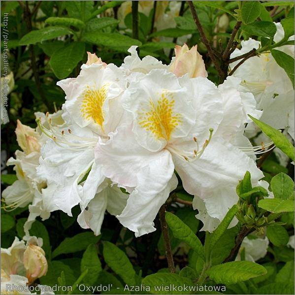 Rhododendron 'Oxydol' - Azalia wielkokwiatowa 'Oxydol'