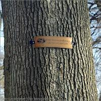 Quercus petraea - Dąb bezszypułkowy kora