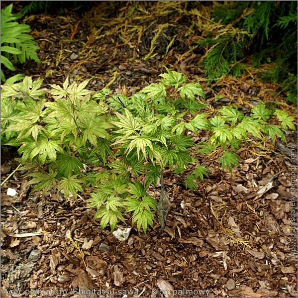 Acer palmatum 'Shigitatsu sawa' - Klon palmowy