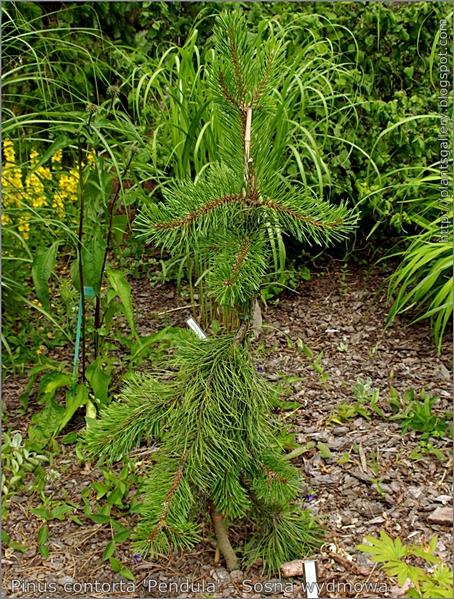 Pinus contorta 'Pendula' - Sosna wydmowa