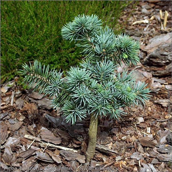 Picea pungens 'Porcupine' - Świerk kłujący