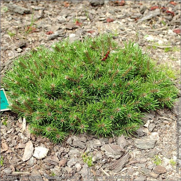 Pinus uncinata 'Paradekissen' - Sosna hakowata