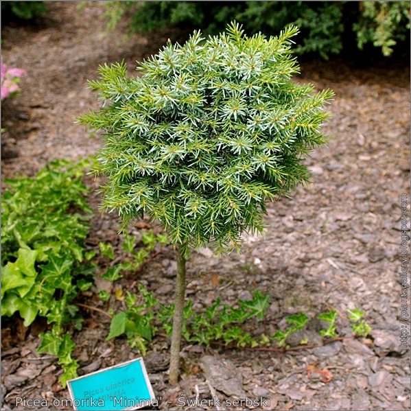 Picea omorika 'Minima' - Świerk serbski