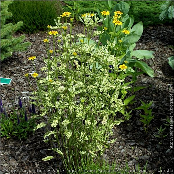 Heliopsis helianthoides var. scabra 'Loraine Sunshine' - Słoneczniczek szorstki 'Loraine Sunshine' pokrój