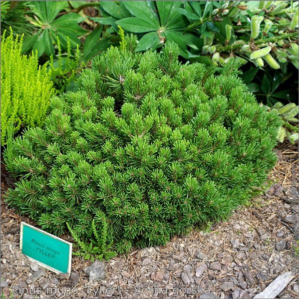 Pinus mugo 'Tyller' - Sosna górska