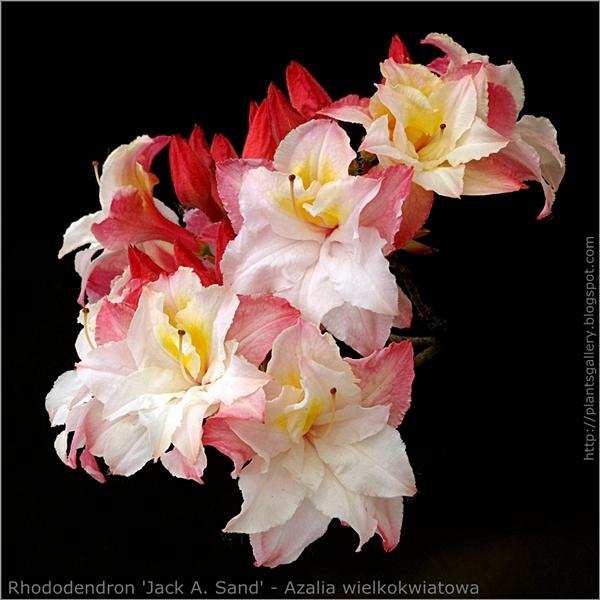 Rhododendron 'Jack A. Sand' - Azalia wielkokwiatowa