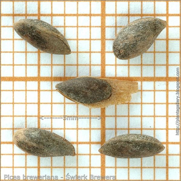Picea breweriana seeds - Świerk Brewera nasiona