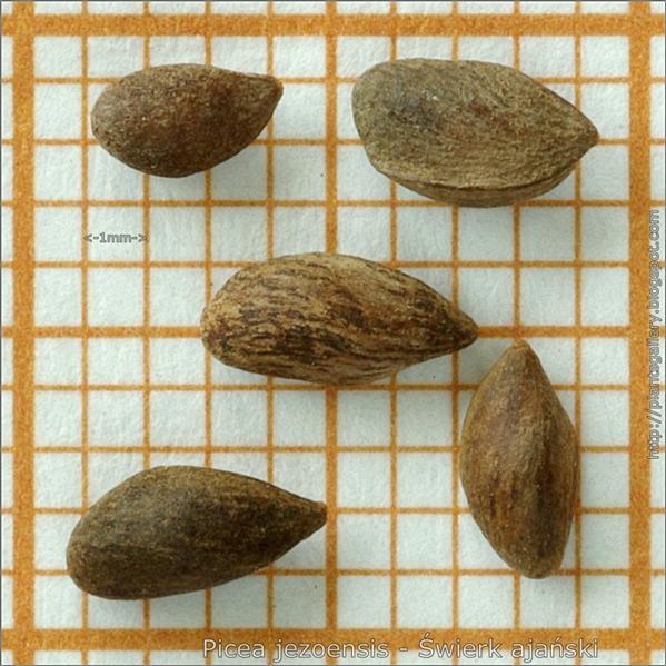 Picea jezoensis seeds - Świerk ajański nasiona