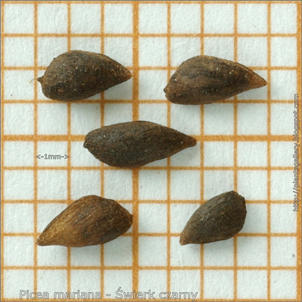 Picea mariana seeds - Świerk czarny nasiona