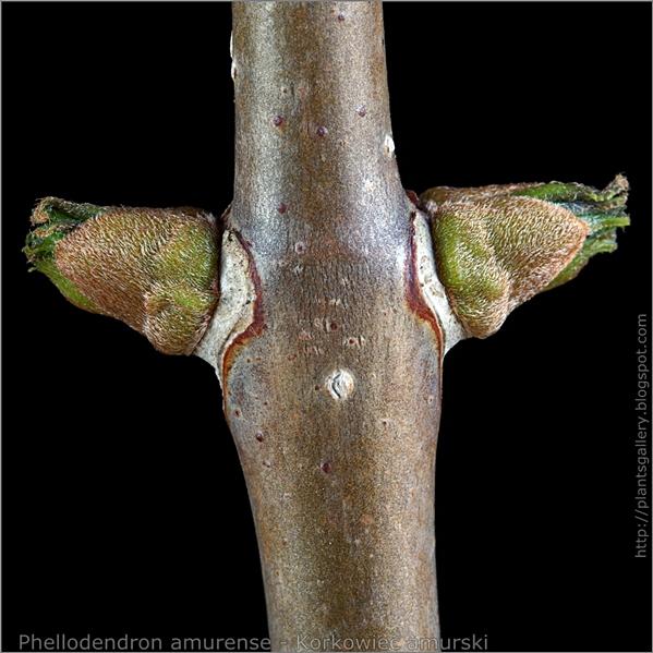 Phellodendron amurense leaf bud - Korkowiec amurski boczne pąki liściowe
