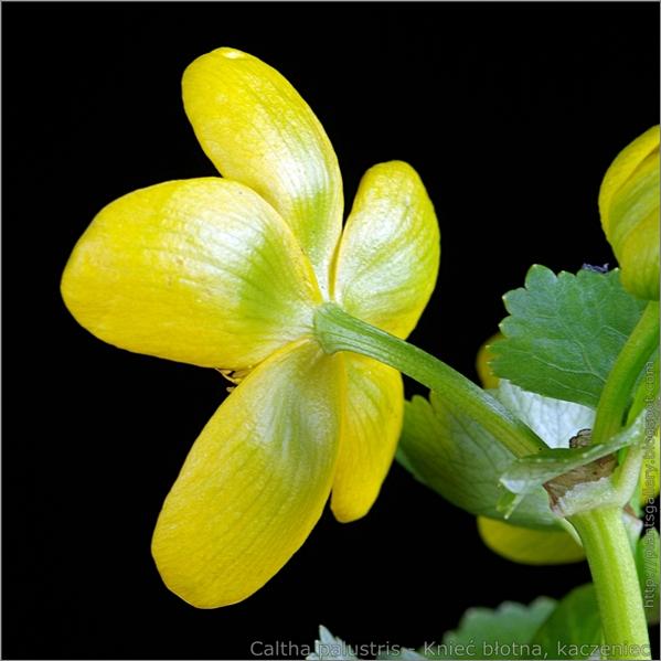 Caltha palustris flower - Knieć błotna, kaczeniec kwiat od spodu
