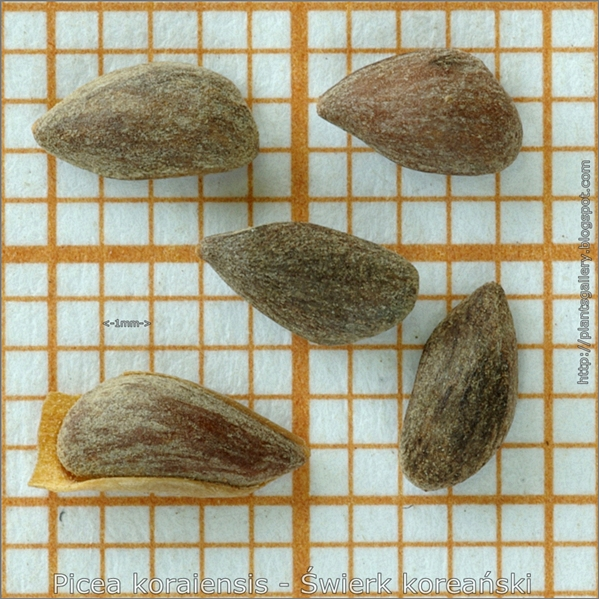 Picea koraiensis seeds - Świerk koreański nasiona