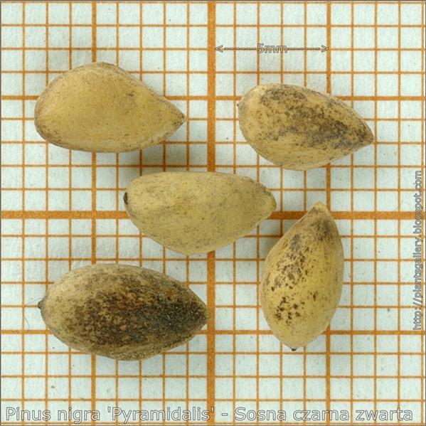 Pinus nigra 'Pyramidalis' seeds - Sosna czarna nasiona