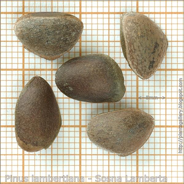Pinus lambertiana seeds - Sosna Lamberta, sosna cukrowa nasiona