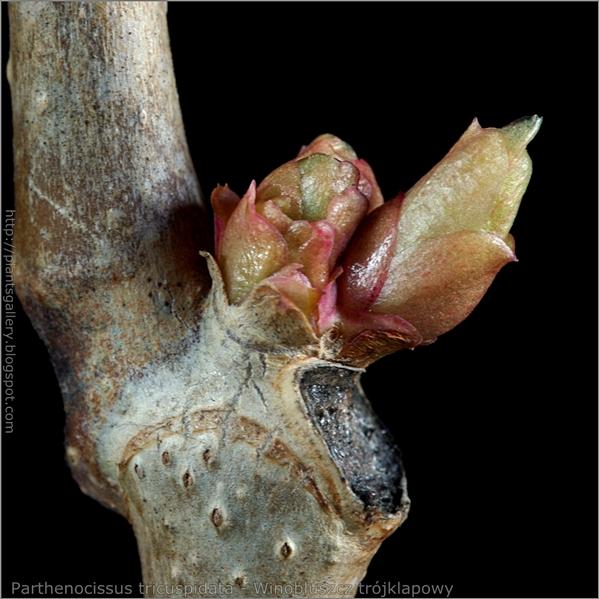 Parthenocissus tricuspidata bud - Winobluszcz trójklapowy pąki