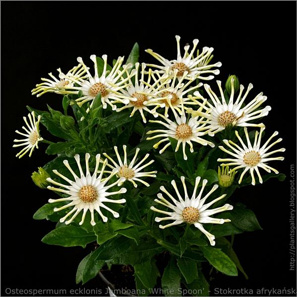 Osteospermum ecklonis Jamboana 'White Spoon' - Osteospermum, Stokrotka afrykańska pokrój