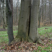 Fagus sylvatica - Buk zwyczajny pień