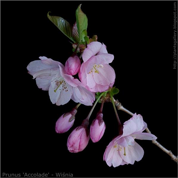 Prunus Accolade  flower - Wiśnia Accolade kwiat