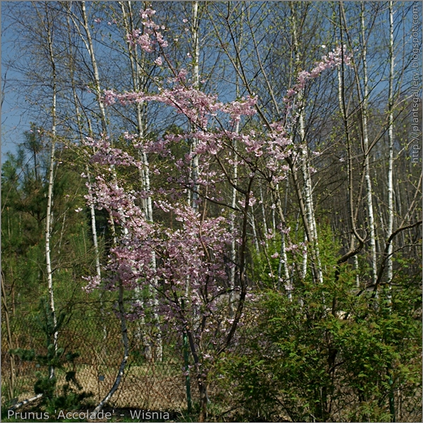 Prunus Accolade  - Wiśnia Accolade pokrój kwitnącej rośliny