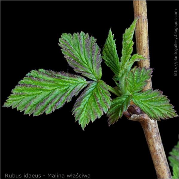 Rubus idaeus young leaf - Malina właściwa młode liście