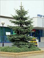 Picea pungens - Świerk kłujący, świerk srebrny pokrój